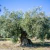 Kép 4/5 - PARQUEOLIVA extra szűz olívaolaj 3000ml fémdobozos